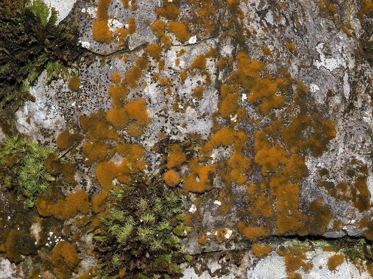Utricularia sect. Utricularia - Wikipedia