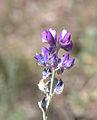 Lupinus argenteus flowers close.jpg