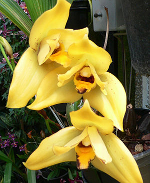 Grex (horticulture) - × Lycamerlycaste Hera gx is a grex of orchid hybrids in the nothogenus × Lycamerlycaste J.M.H.Shaw. It consists of hybrids between members of a grex (× Lycamerlycaste Brugensis gx) and a species (Lycaste cruenta Lindl.).