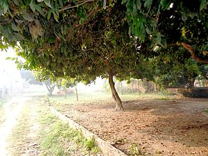 Muzaffarpur district - Lychee garden in Muzaffarpur