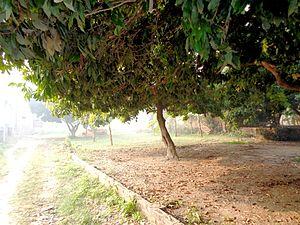 Muzaffarpur - Lychee garden in Muzaffarpur