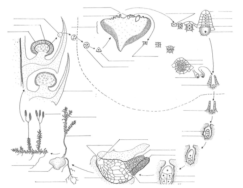 File:Lycopodiales life cycle.pdf