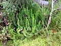 Lycopodium annotinum 06.jpg