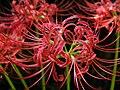 Lycoris radiata spiderlily higanbana DSCN9121.JPG