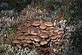 Lyophyllum decastes - or L. fumosum? (23714826802).jpg