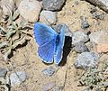 Lysandra bellargus (Niña Celeste) - Flickr - S. Rae (2).jpg