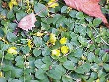 Lysimachia nummularia - Wikipedia