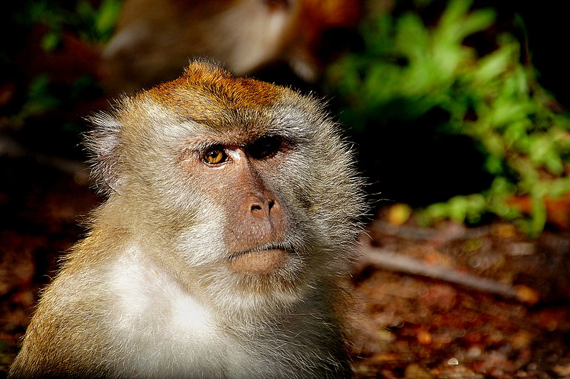 File:Macaque Monkey (16787053847).jpg