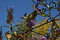Macroglossum stellatarum 32.jpg