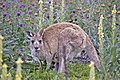 Macropus giganteus and joey on Tuggeranong Hill.jpg