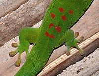 Madagascar day gecko (Phelsuma madagascariensis madagascariensis).jpg