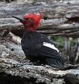 Magellanic Woodpecker01 (Campephilus magellanicus).jpg