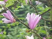 Magnolia liliiflora5.jpg