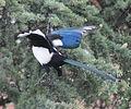 Magpie in Madrid (Spain) 25.jpg