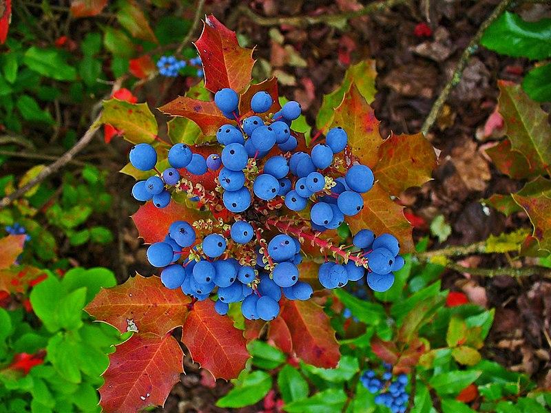 File:Mahonia aquifolium 004.JPG