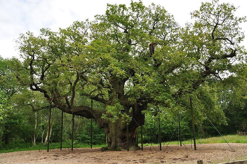 File:Major Oak (9494).jpg
