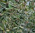Makrisal (Schima wallichii) leaves & fruit at Samsing, Duars, West Bengal W IMG 5964.jpg