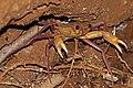 Malagasy freshwater crab (Madagapotamon humberti) Ankarana.jpg