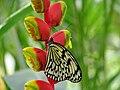 Malaysia - Penang Butterfly Gardens - 16 (5208963280).jpg