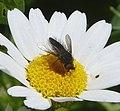 Male Beefly? (31844343344).jpg