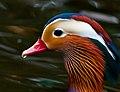 Male Mandarin Duck at Bushy Park, Dublin.jpg