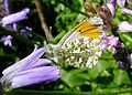 Male Orange-tip on Bluebells. underside. Anthocharis cardamines. Pieridae. - Flickr - gailhampshire.jpg