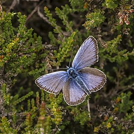 Male Plebejus argus top view in the Aamsveen, The Netherlands.jpg
