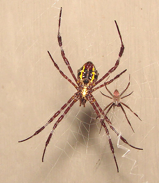 North Dakota Spider Identification http://askville.amazon.com/Woo-Hoo-Late-summer-argiope/AnswerViewer.do?requestId=15935079