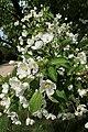 Malus floribunda kz01.jpg