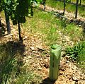 Manchon de protection vigne2.jpg