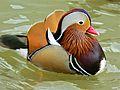 Mandarin Duck (Aix galericulata) (6950451856).jpg
