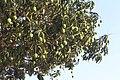Mango Tree, Mahendra Highway.jpg