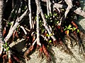 Mangroves in Guilligan's Island - panoramio.jpg