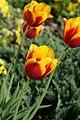 Mani ziedi My flowers - panoramio (15).jpg