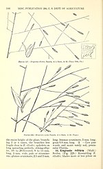Manual of the grasses of the United States (Page 166) BHL42020805.jpg