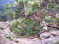 Manzanita at summit of Little Si - Flickr - brewbooks.jpg