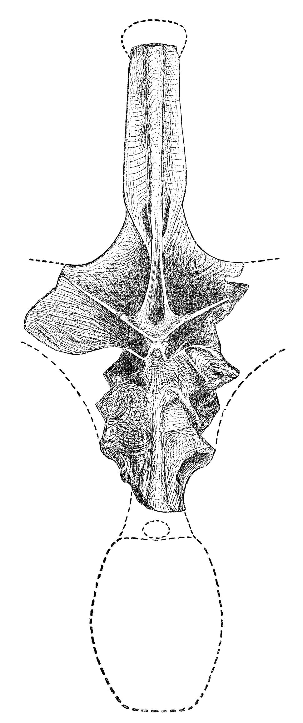 Maraapunisaurus fragillimus holotype illustration