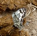 Marbled White. u.s. - Flickr - gailhampshire.jpg