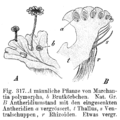 Marchantia polymorpha Antheridienständer Strasburger1900.png