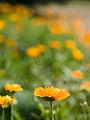 Marigold (14867692381).jpg