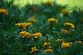 Marigolds (9871954614).jpg