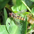 Marmalade hoverfly (Episyrphus balteatus), Sandy, Bedfordshire (17357416966).jpg