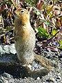 Marmot in Alaska.jpg