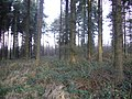Mature spruce trees, Burnhope Pond Plantation - geograph.org.uk - 320311.jpg