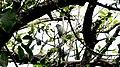 Mauritius Olive White-eye (8375477830).jpg
