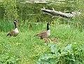 May 27 2006 goosefamily.jpg