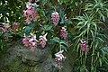 Medinilla maginifica Lindl. 01.jpg