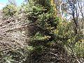 Melaleuca tortifolia habit.jpg