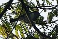 Melaniparus fasciiventer.jpg