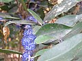 Memecylon umbellatum flowers at Peravoor (20).jpg